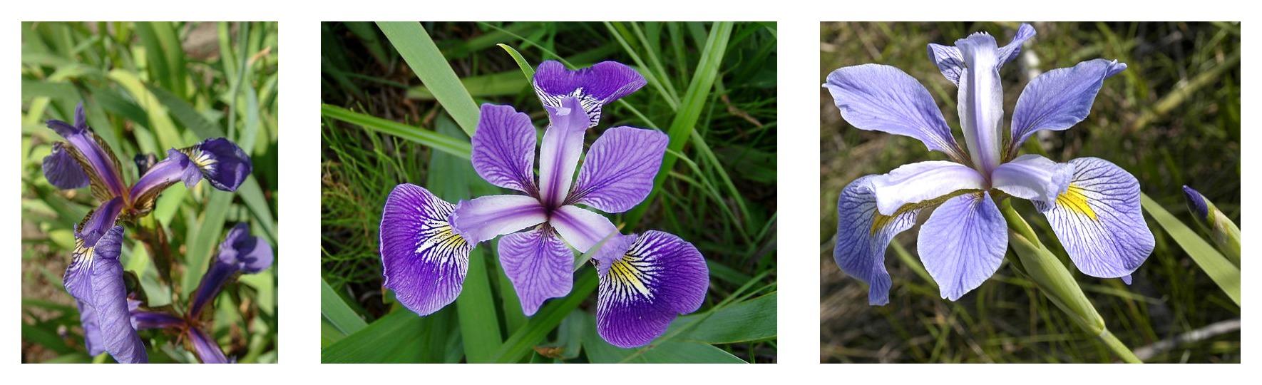 Geometría de pétalos comparada para tres especies de iris: Iris setosa, Iris virginica e Iris versicolor